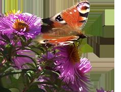 papillonsans-fond
